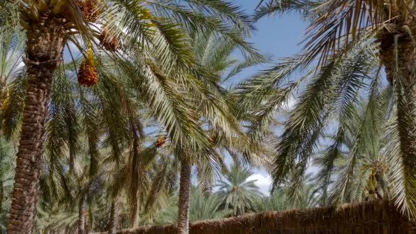 Datolyapálmák, Tunézia